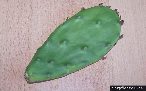 feigenkaktus (opuntia humifusa)