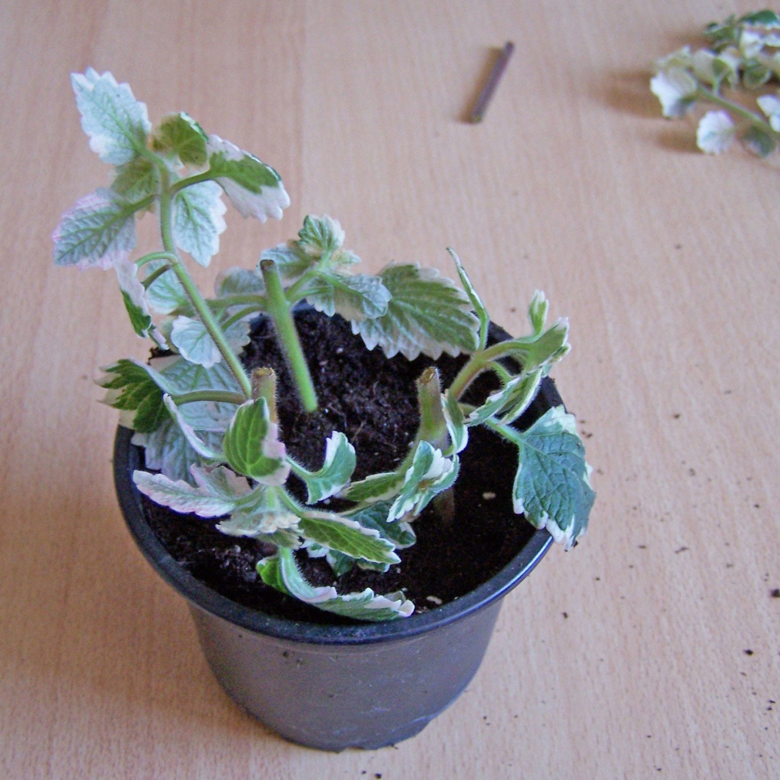 Weihrauchpflanze Stecklinge