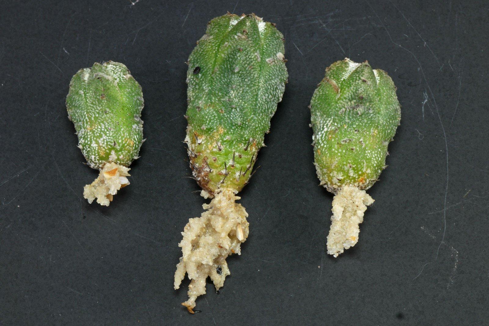 Astrophytum- myriostigma