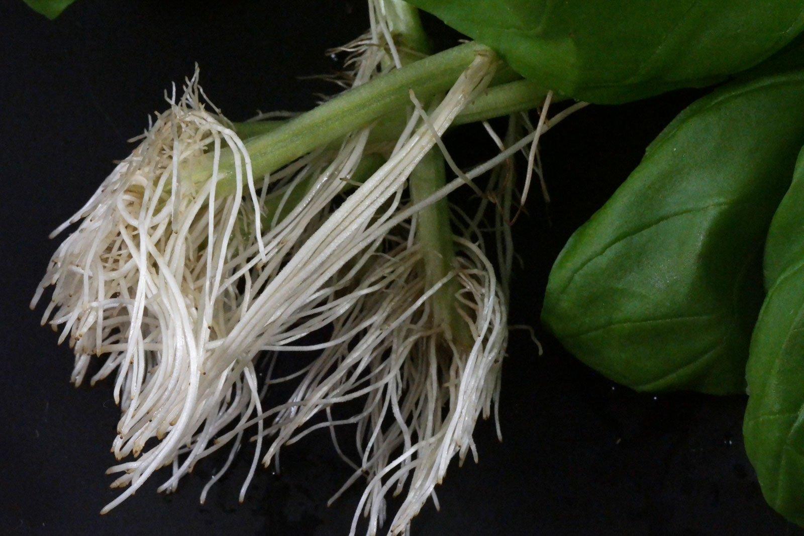 Basilikum Stecklinge