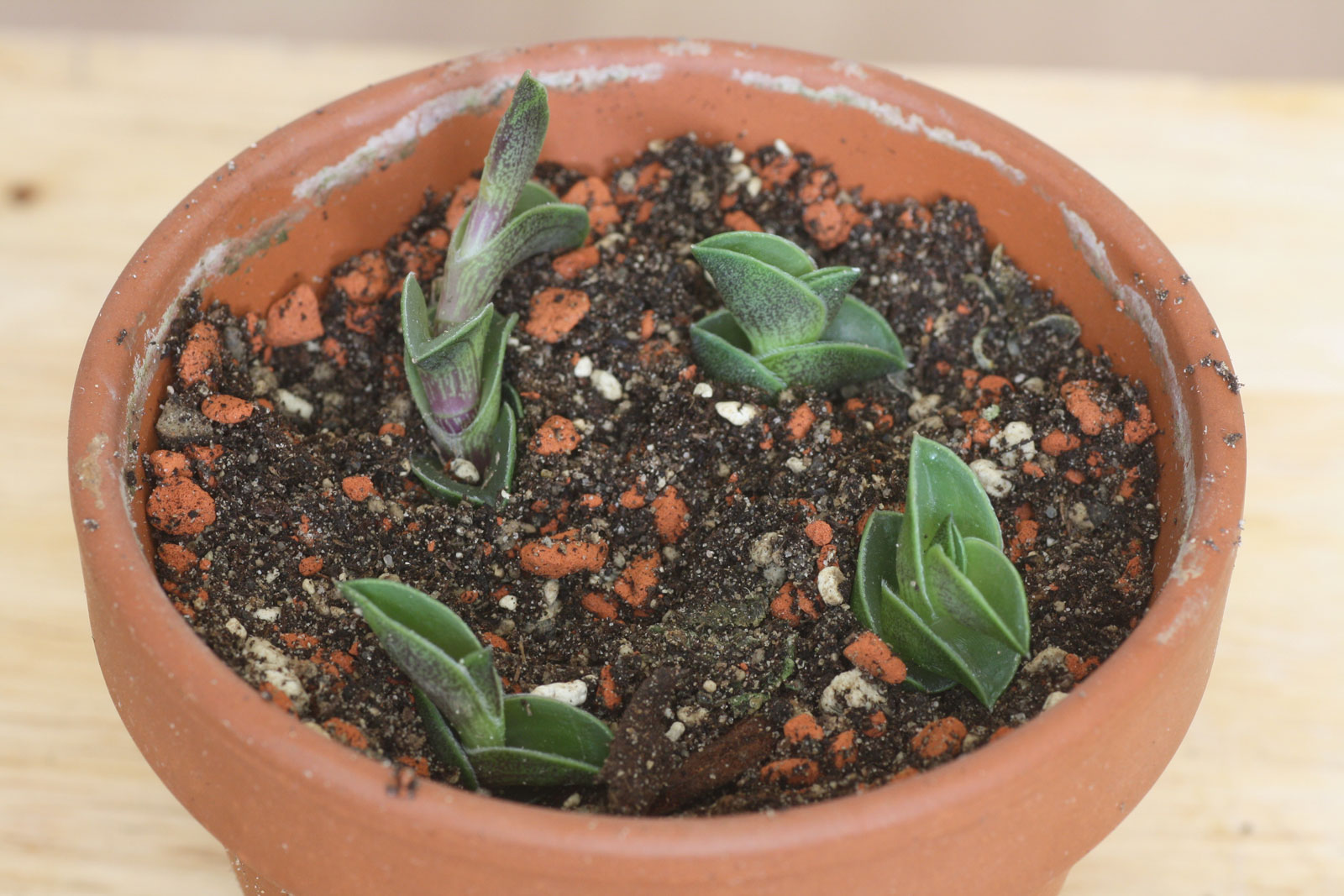 Callisia-navicularis