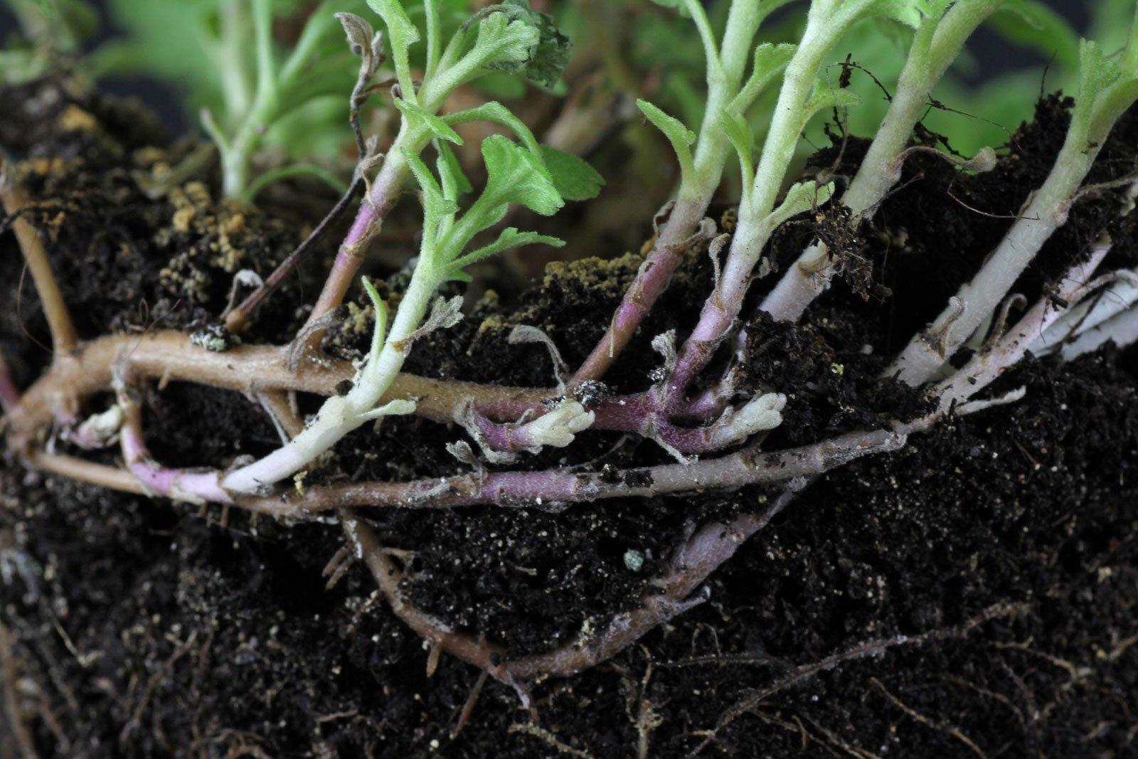 Chrysantheme Ausläufer
