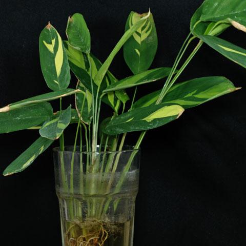 Ctenanthe-marantifolia-480