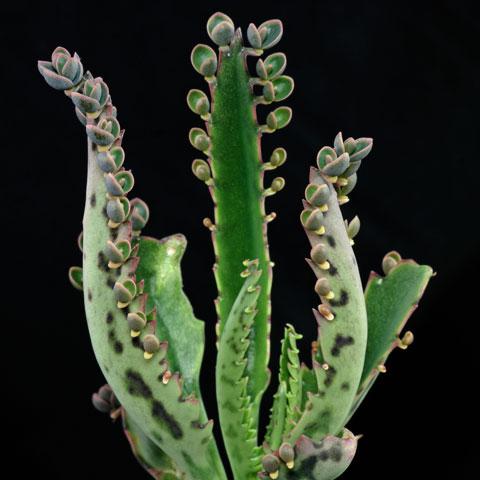 Kalanchoe-daigremontiana-480