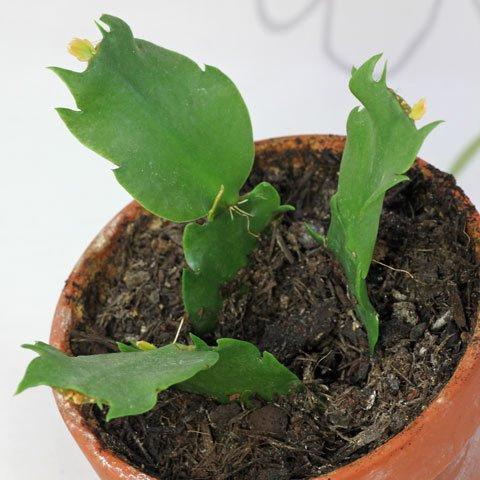 Schlumbergera-truncata-480
