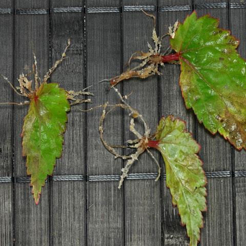 begonia-sutherlandii-480