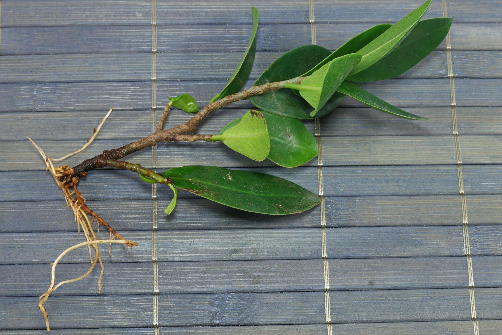Ficus Ginseng Steckling