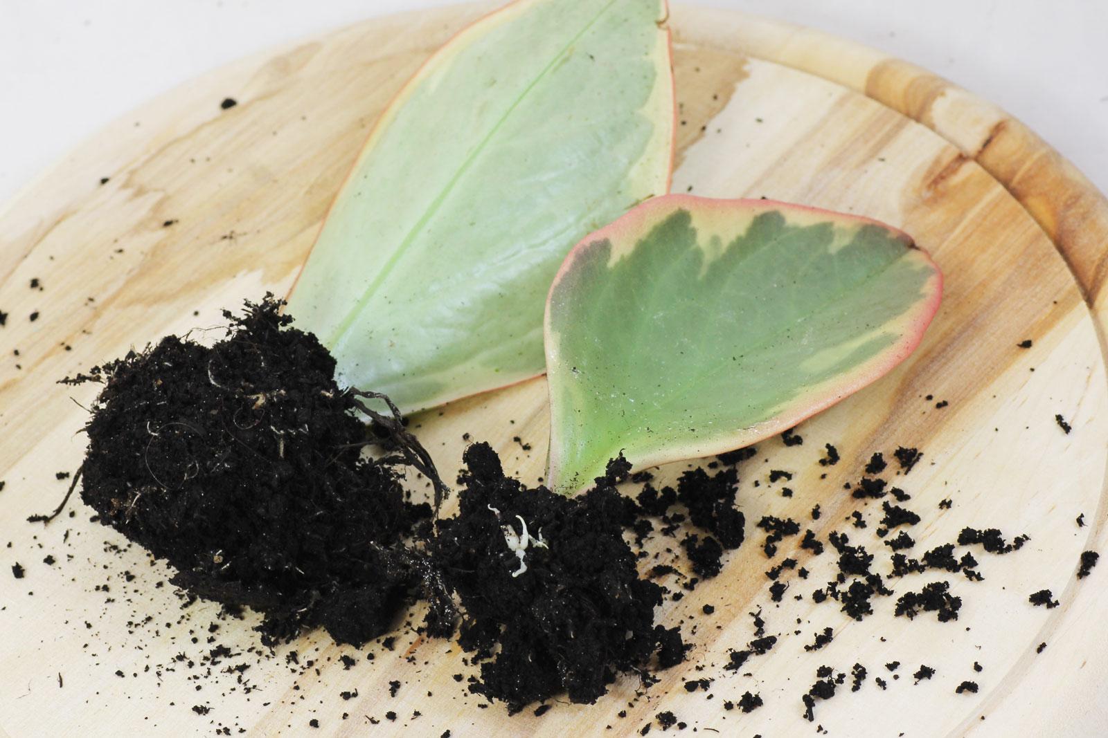 Peperomia clusiifolia 1