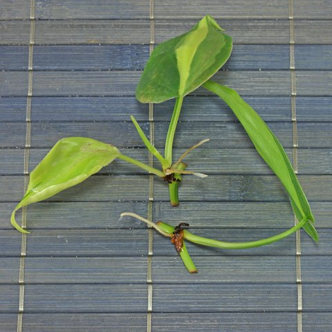 philodendron-hederaceum-480