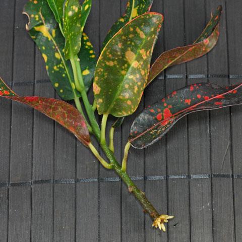 codiaeum-variegatum-480