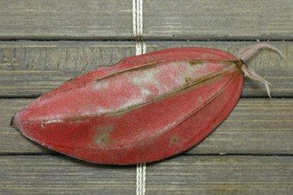 Peperomia Blattsteckling