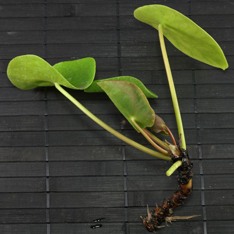 pilea-peperomioides-480