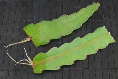 Epiphyllum Stecklinge