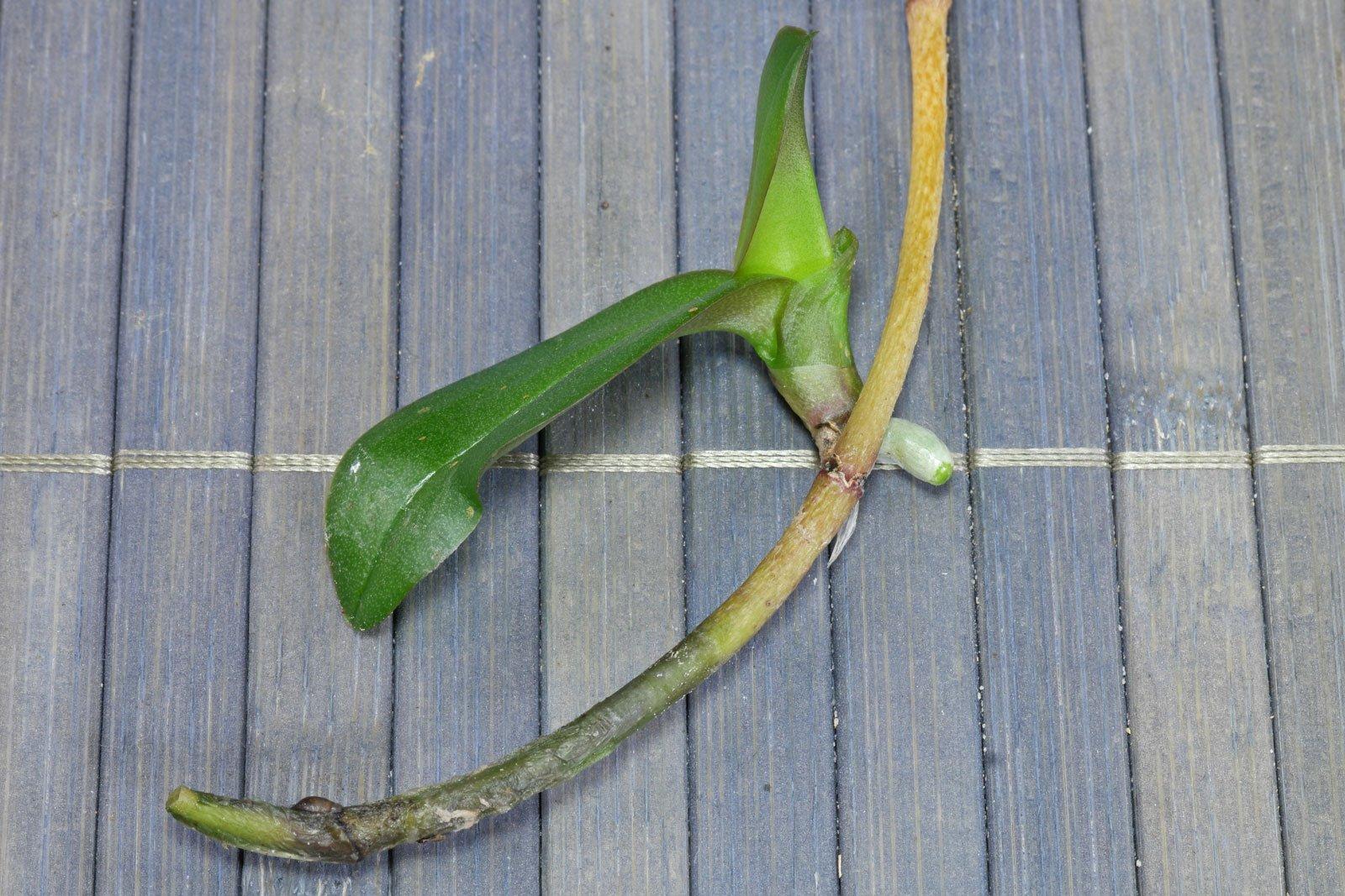 Phalaenopsis cv.
