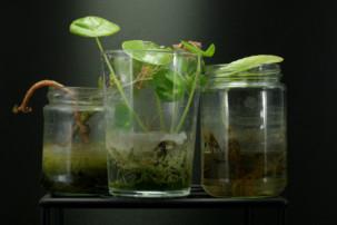 Stecklinge im Wasserglas