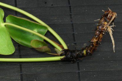 Ufopflanze Steckling