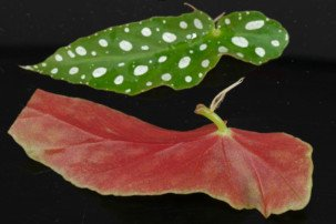 Begonia maculata Stecklinge
