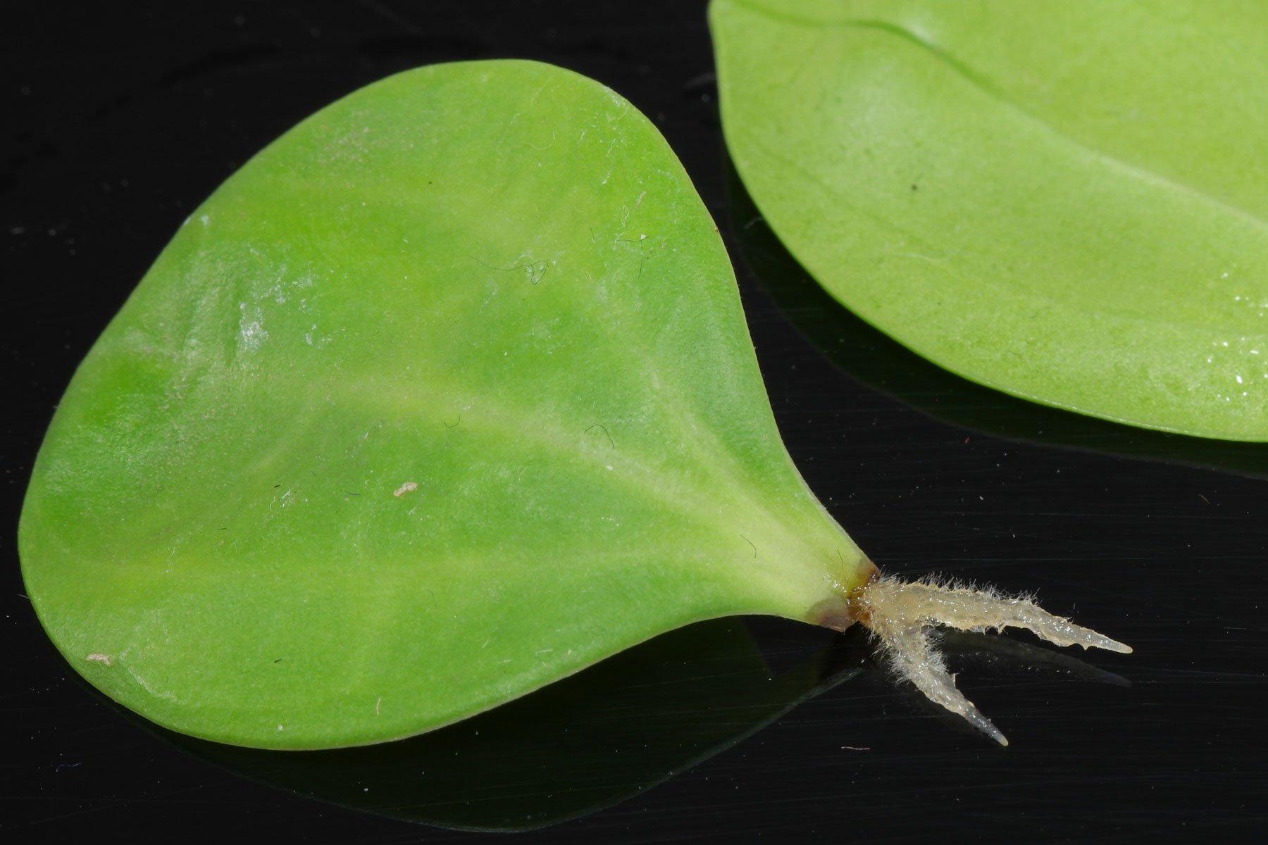 Peperomia pereskiifolia Blattsteckling