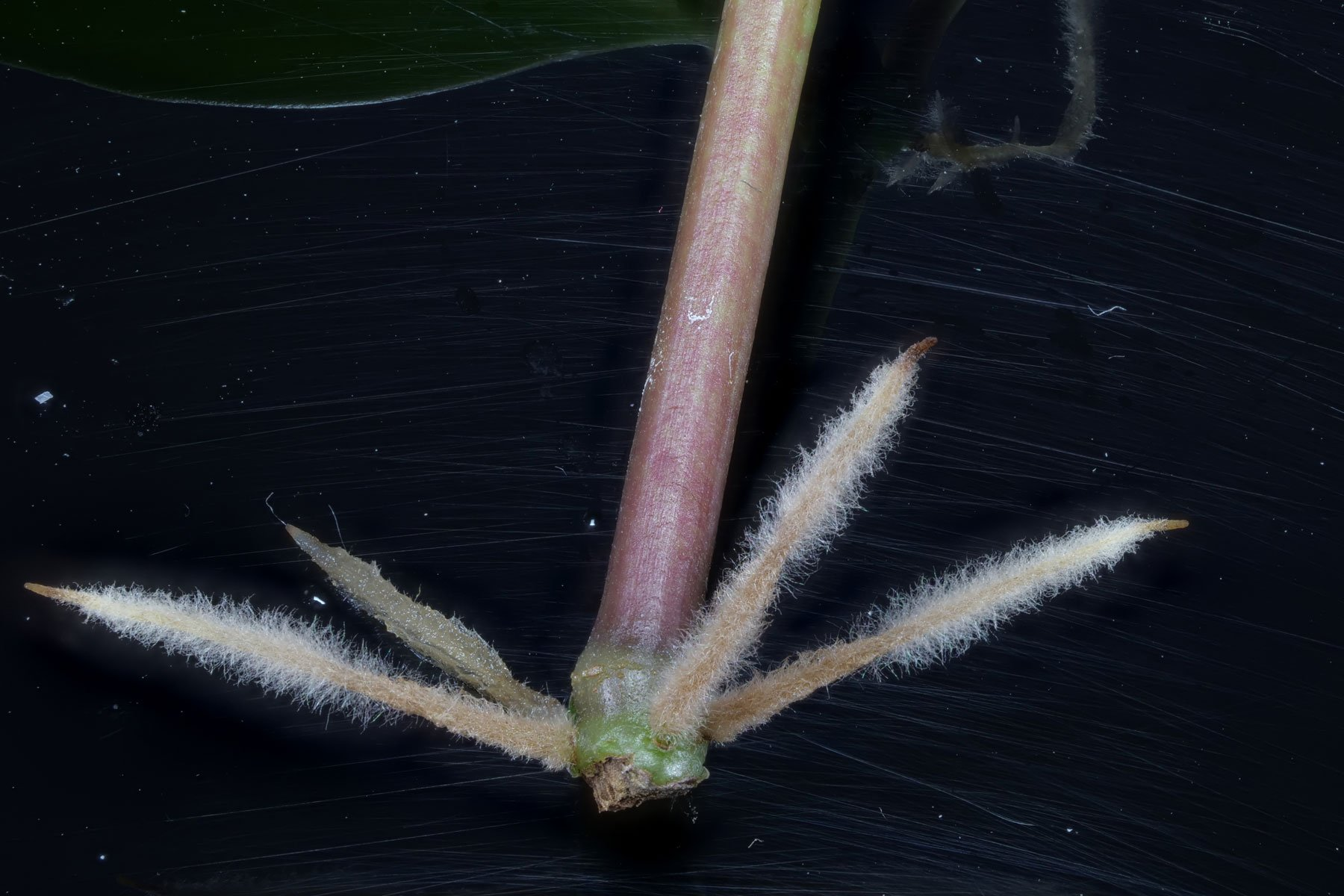 Peperomia pereskiifolia Steckling Wurzeln