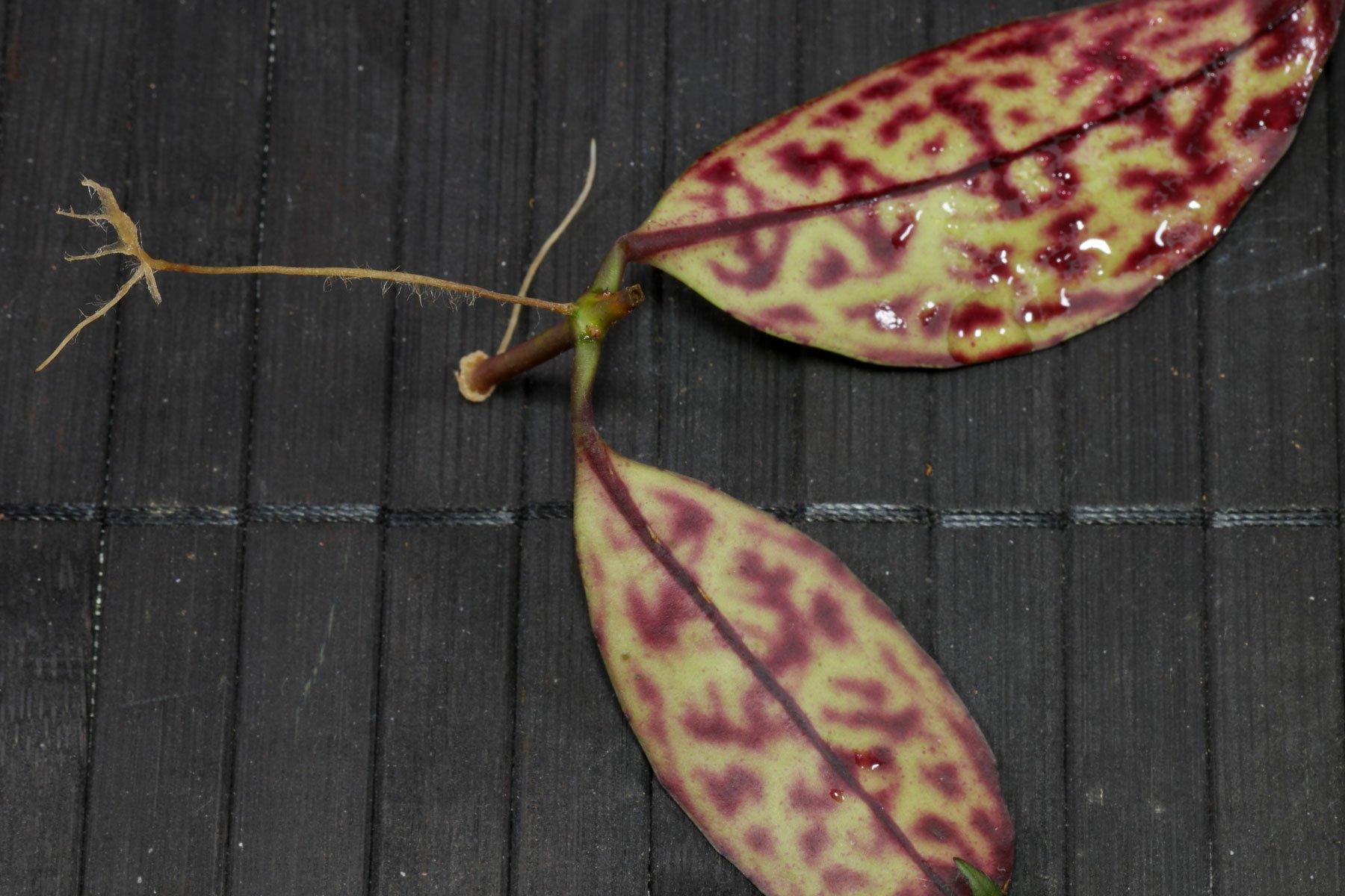 Aeschynanthus longicaulis Steckling