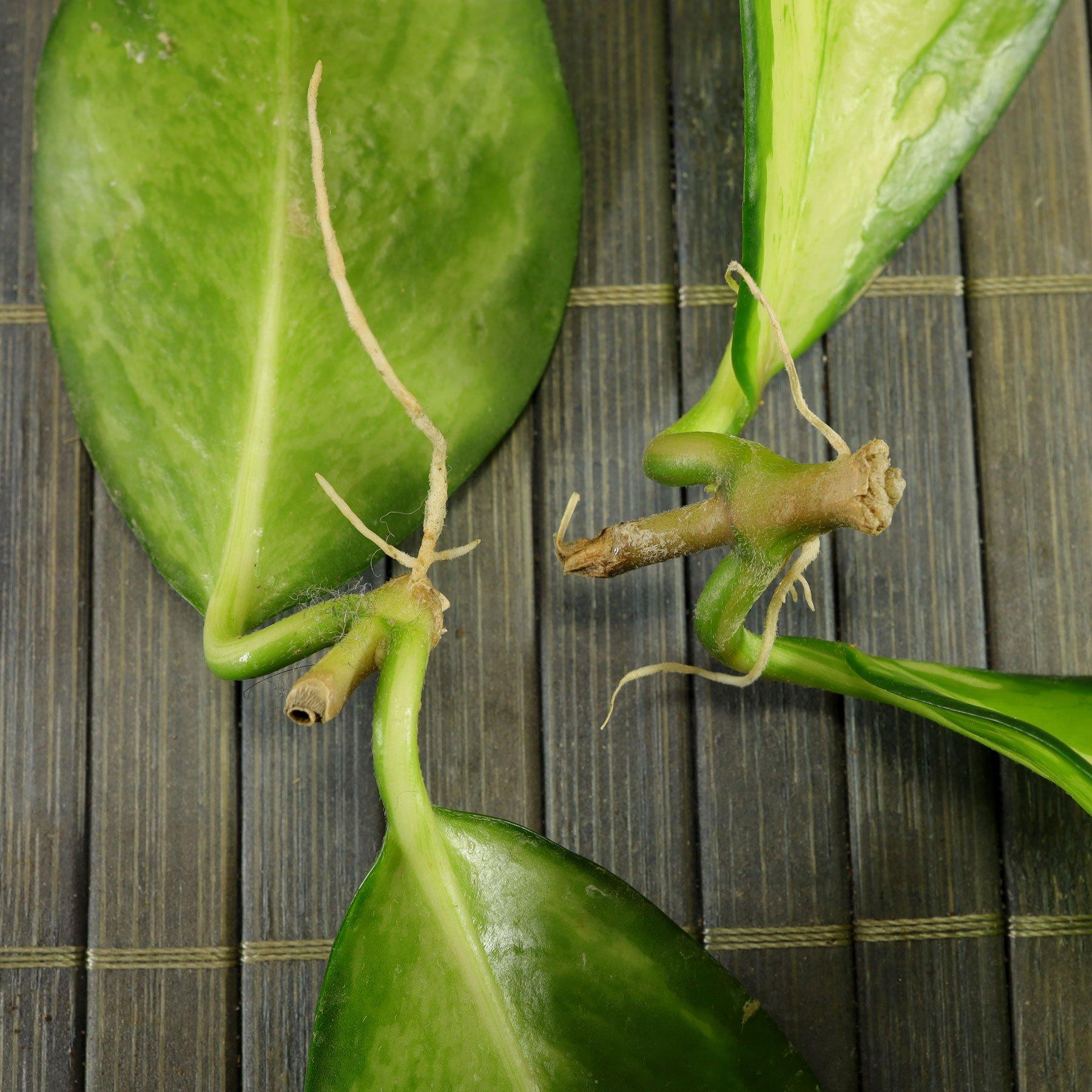 Hoya carnosa Stecklinge