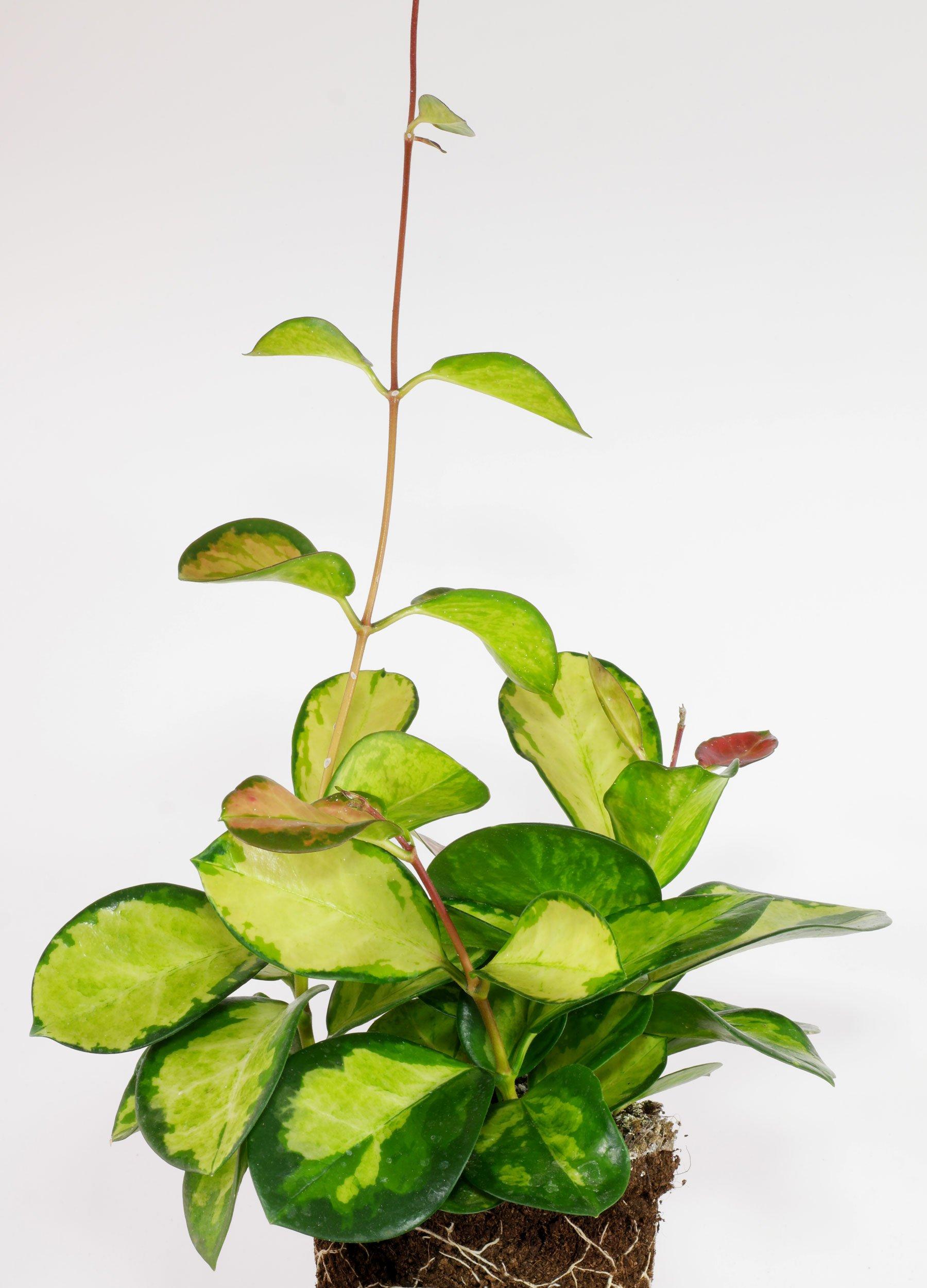 Hoya carnosa Wachsblume