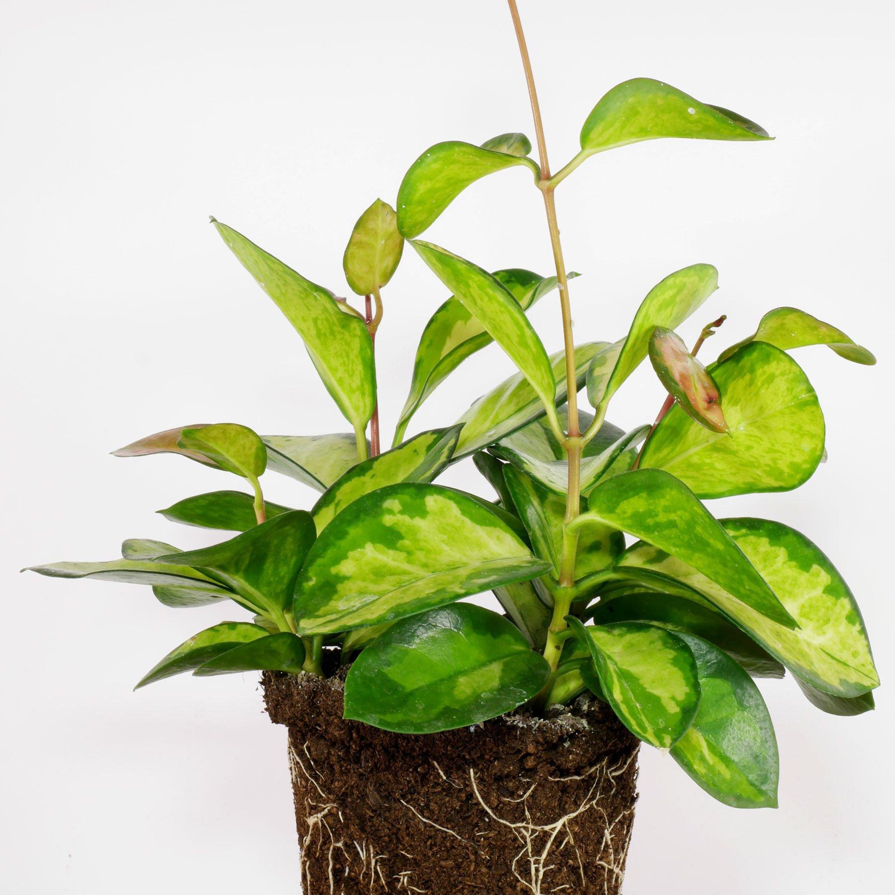 Wachsblume Hoya carnosa