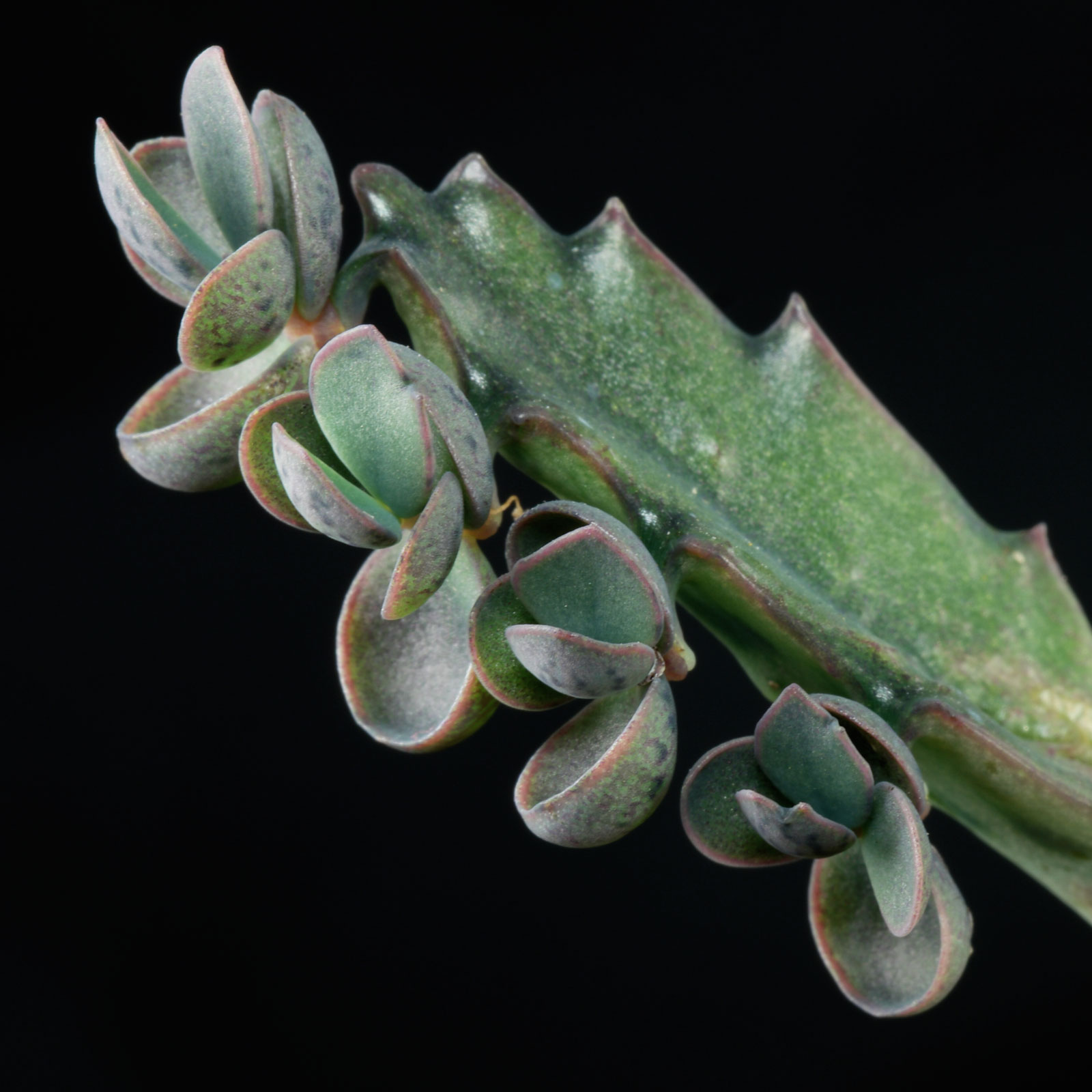 Kalanchoe daigremontiana 1