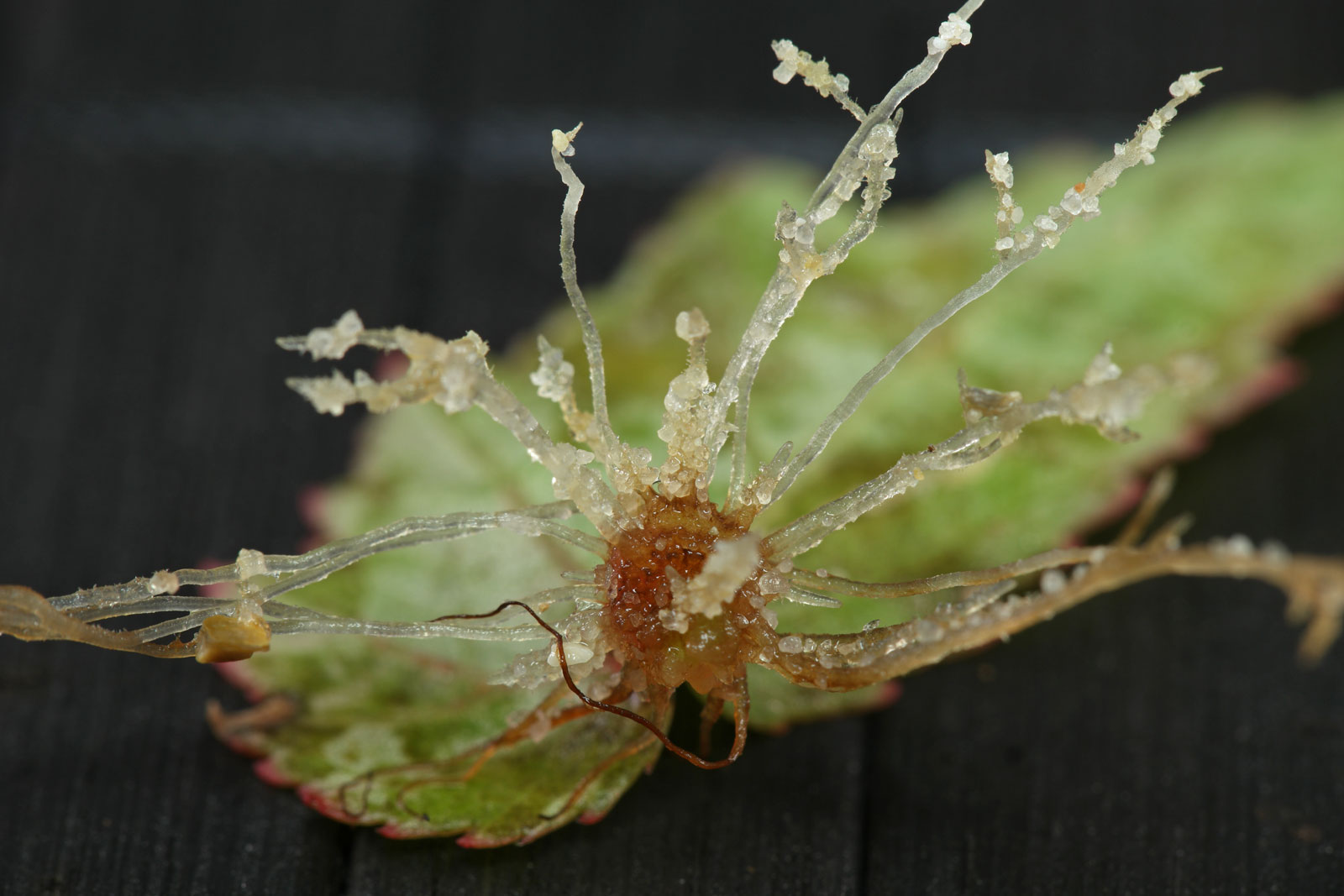 Begonia sutherlandii