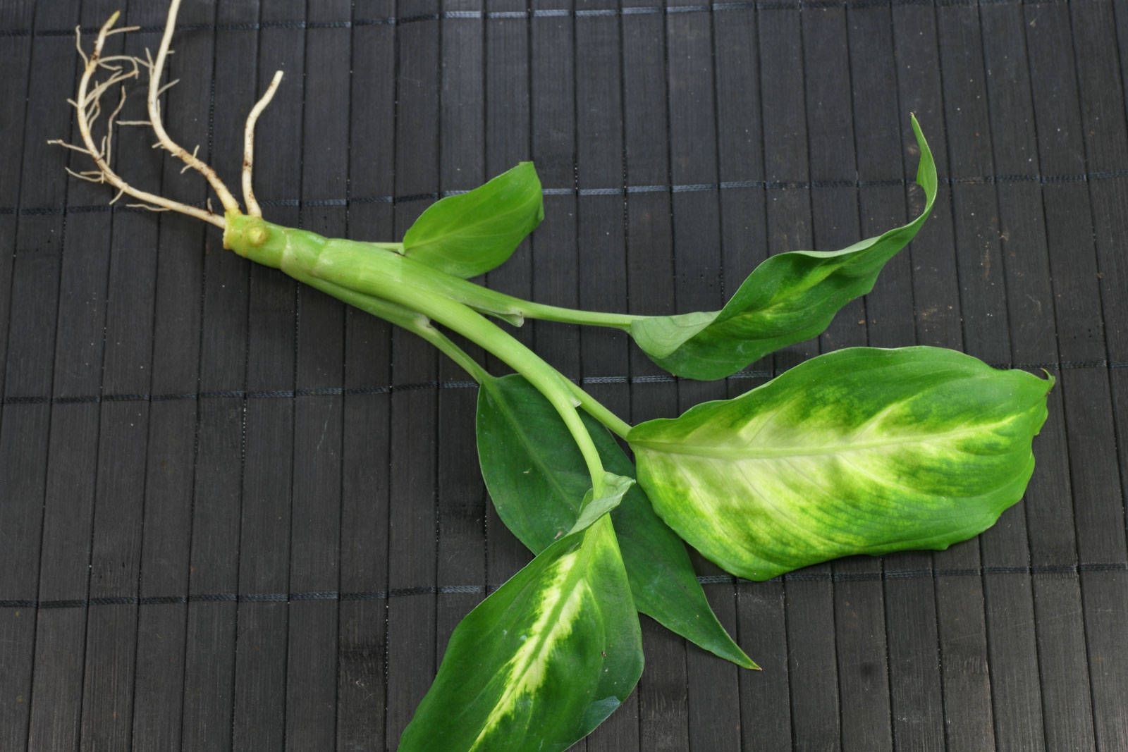 Dieffenbachia cv