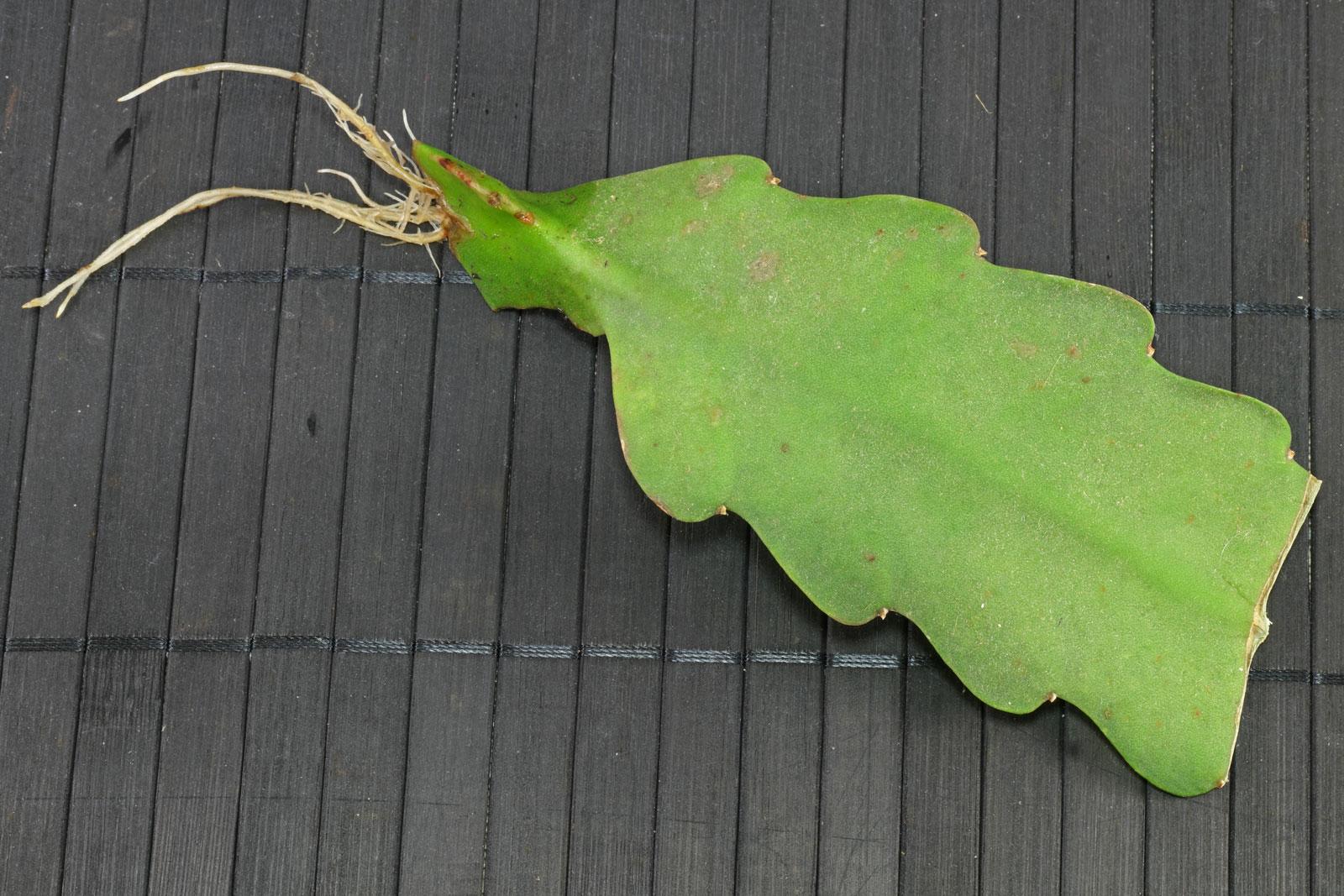 Epiphyllum cv.