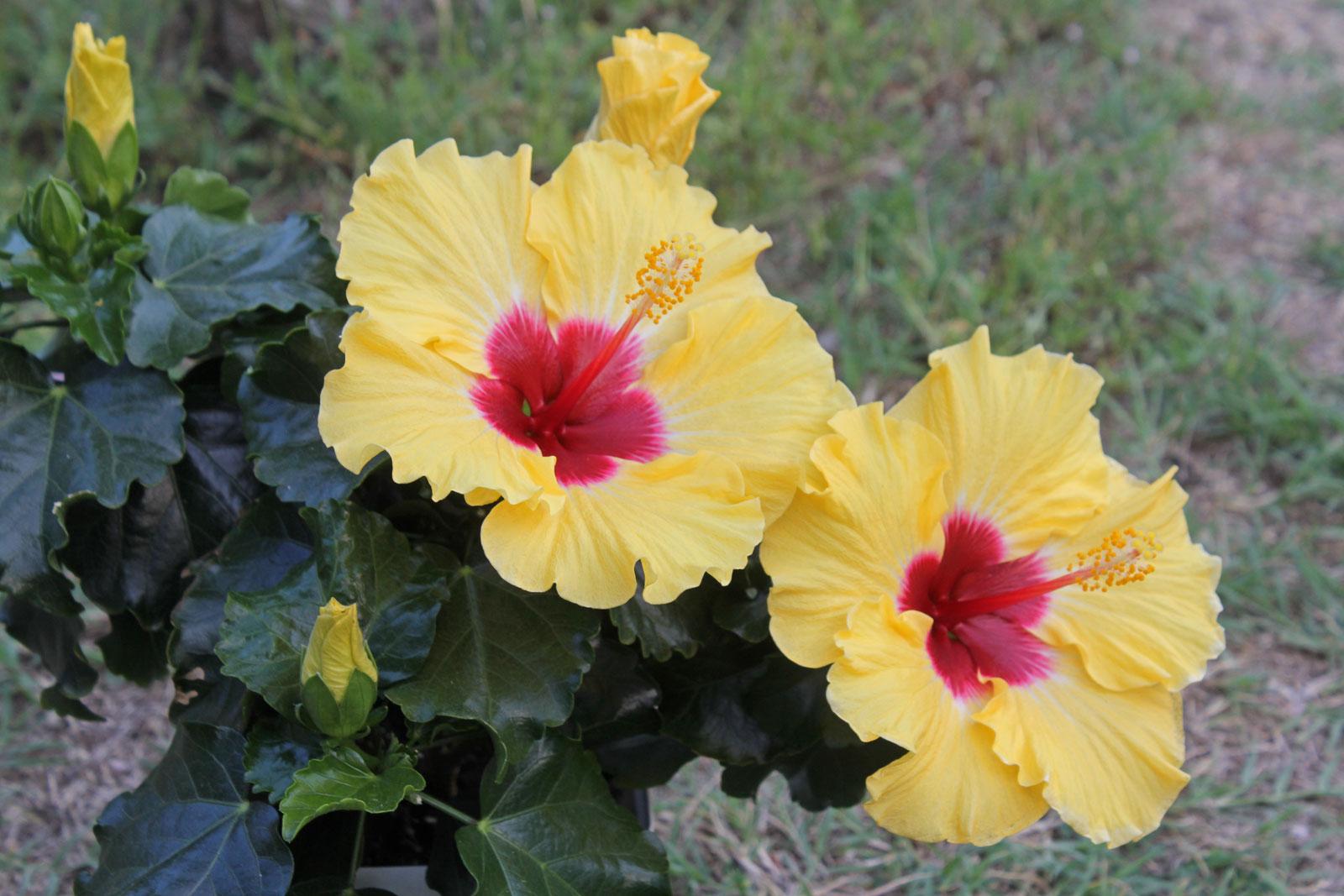 Hibiscus rosa sinensis 3