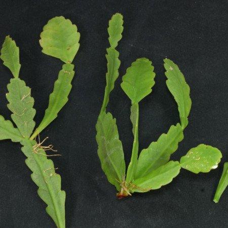 Rhipsalis goebeliana