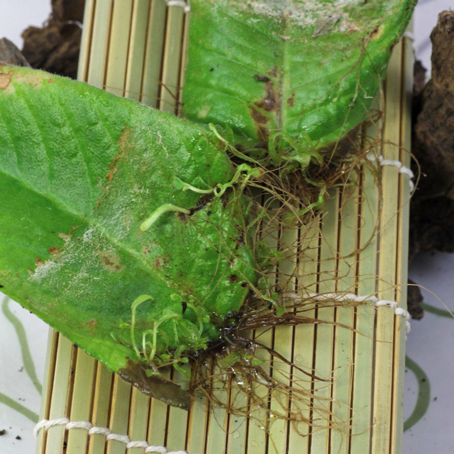 Streptocarpus cv