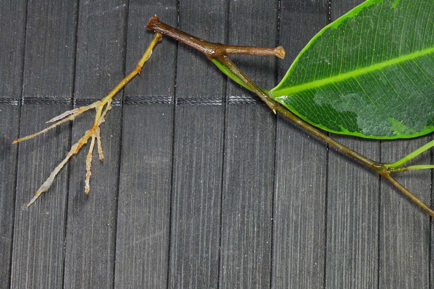 Birkenfeige Steckling