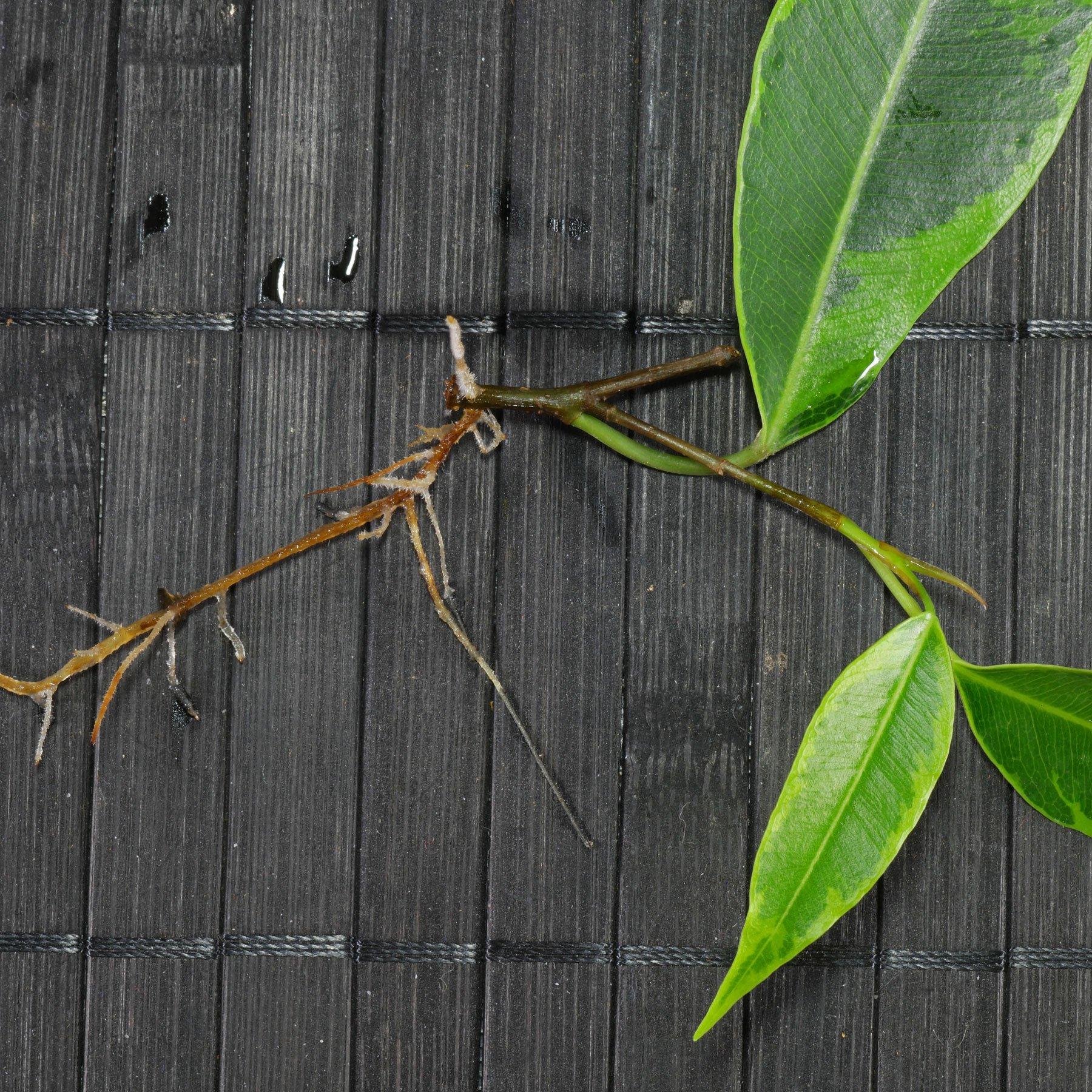 Ficus benjamina Steckling